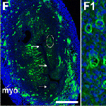 Vascular Notch proteins and Notch signaling in the peri-implantation mouse uterus